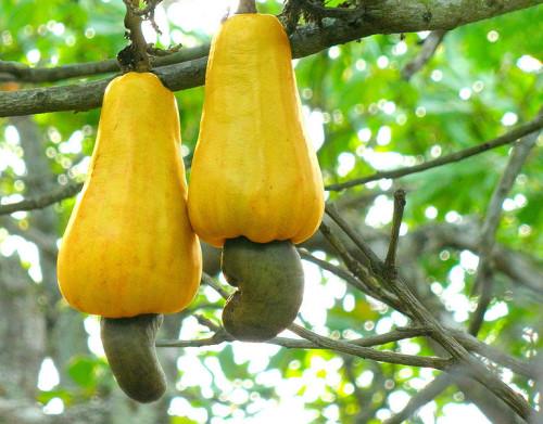cashewtreefruit